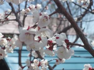 山形も桜の季節になりました