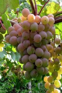 白ワインの原料 甲州種