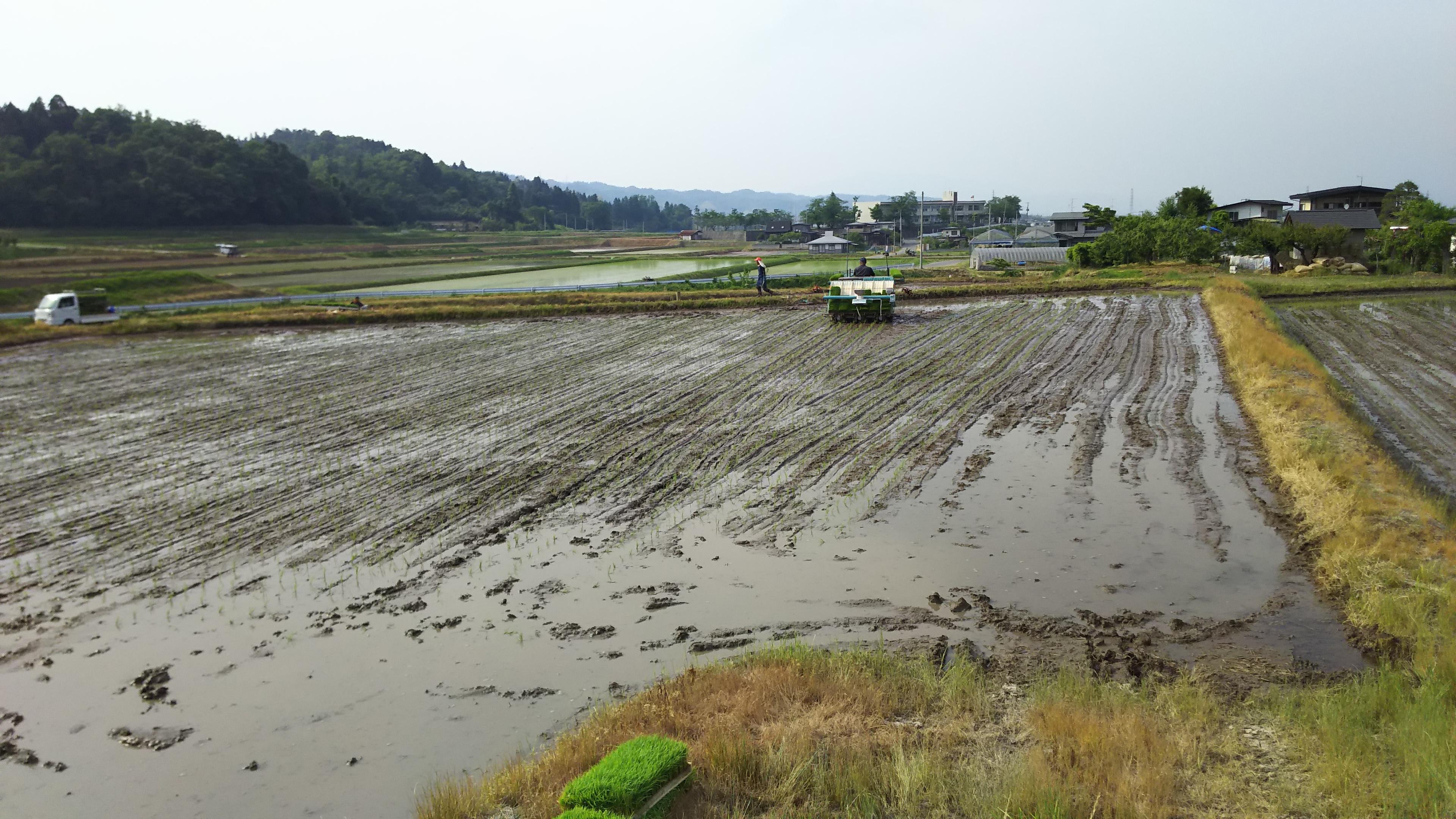水稲田植え