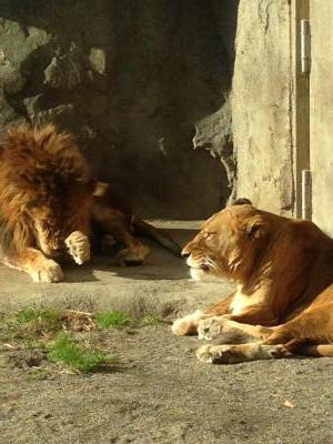 2012/11/29 06:01/穏やかなライオンです