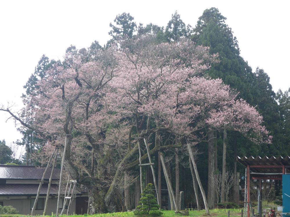 草岡大明神桜情報2:画像
