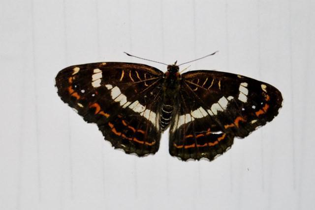 天元台の蝶