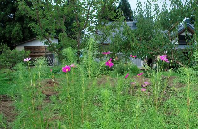 庭にコスモス