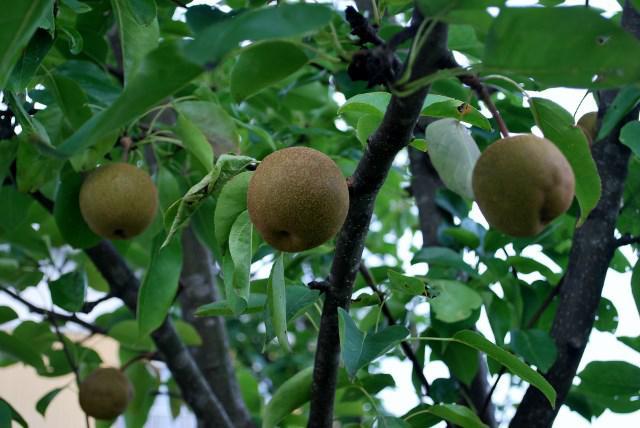 庭の梨の木