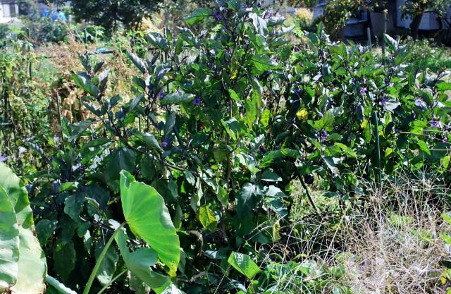 家庭菜園野菜収穫