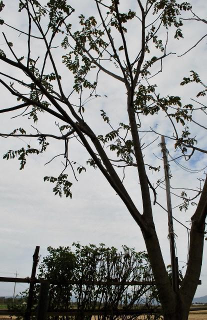 胡桃の木/