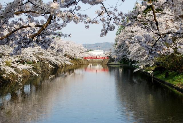 上杉神社の桜満開