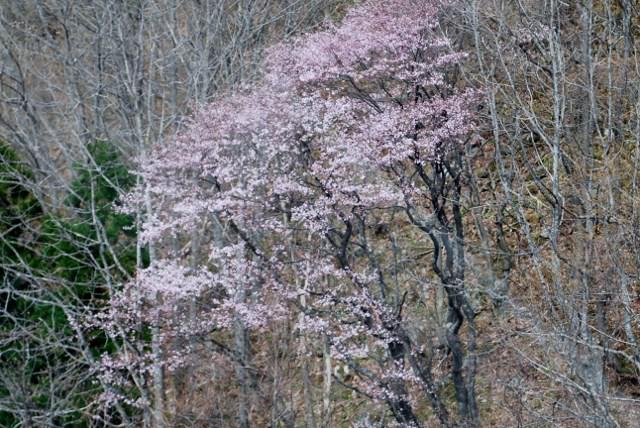 天元台湯元駅の桜