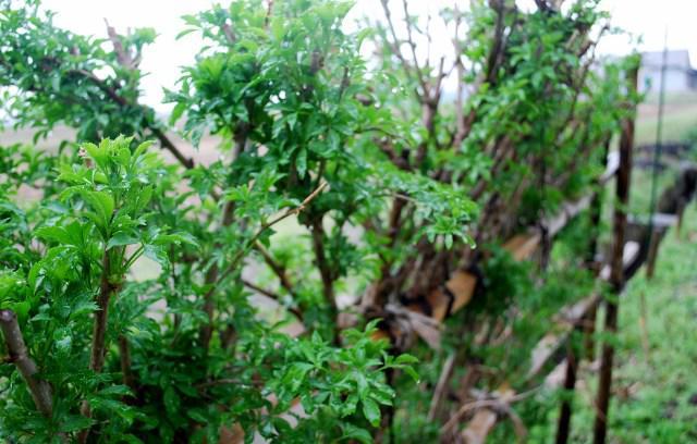 庭の食菜たち