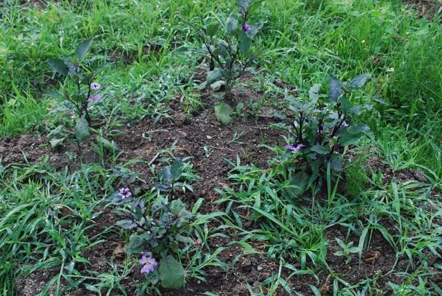 今朝の菜園