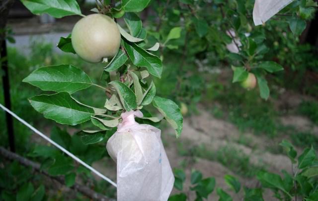 果樹袋掛け
