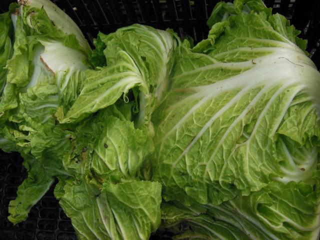 大根に白菜、かぶにチンゲン菜
