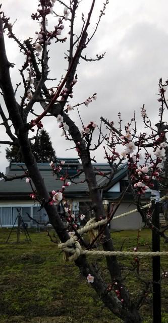 杏子の花も咲いて/