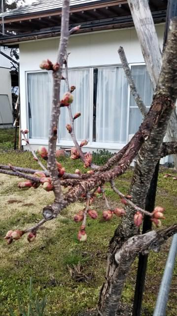 杏子の花も咲いて