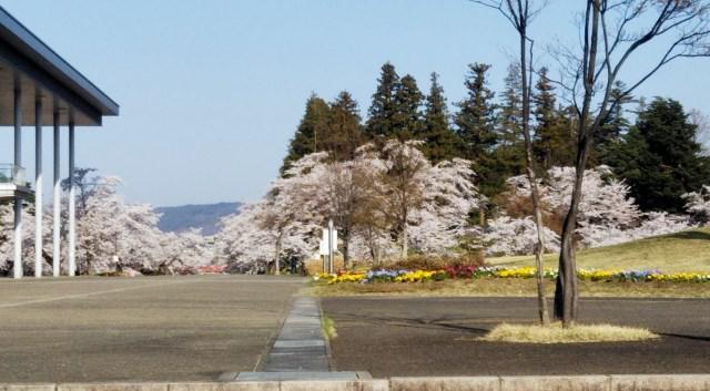 上杉神社前は桜満開