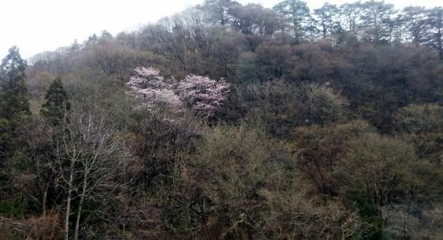 天元台高原ロープウェイ湯元駅の桜満開