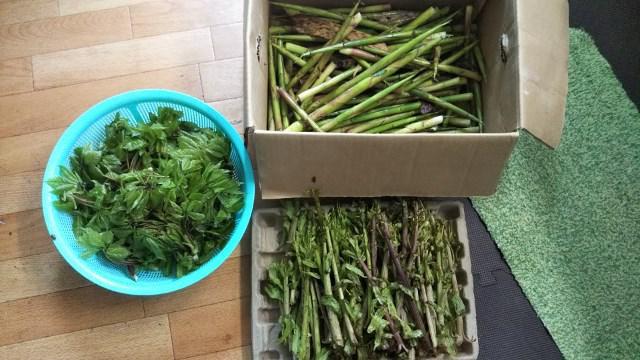 竹の子とコシアブラ、ふきのとう採り