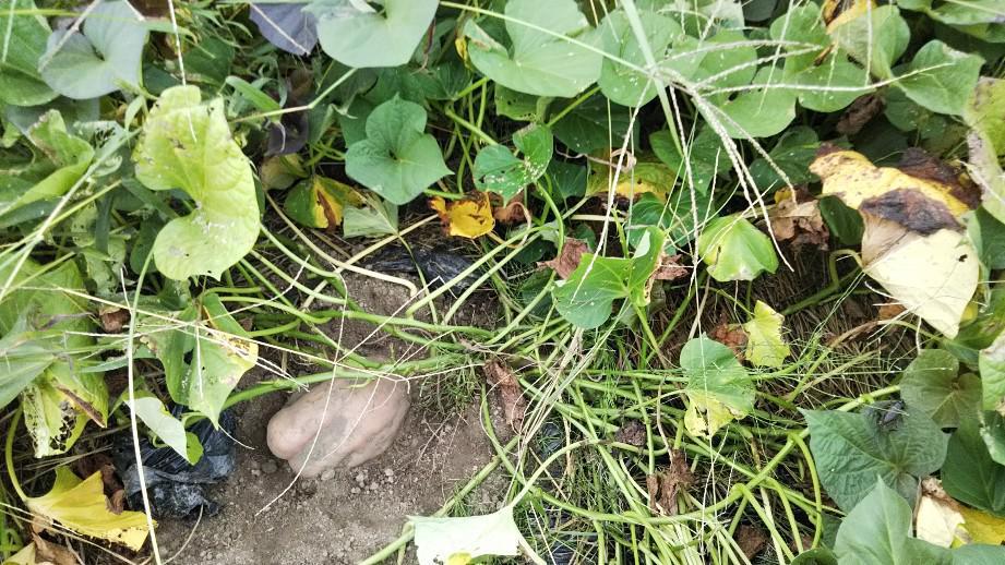 さつま芋収穫(安納芋)