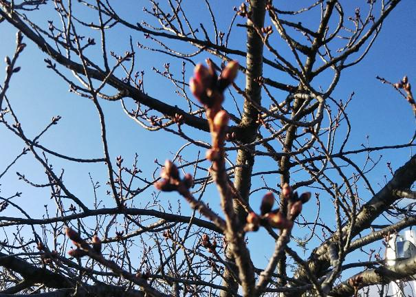 伝国の杜前の桜