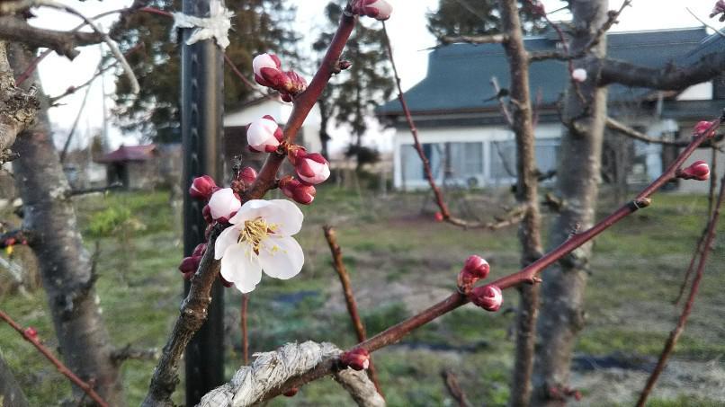 庭木の花レース・レンギョウそして杏子