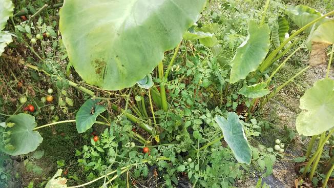 家庭菜園里芋の初収穫