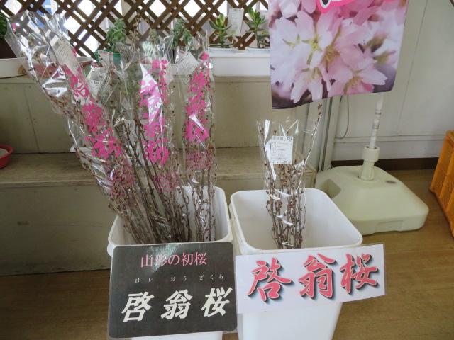 啓翁桜、販売中です♪:画像