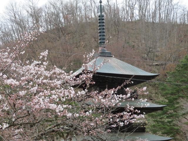 桜が咲きました♪:画像