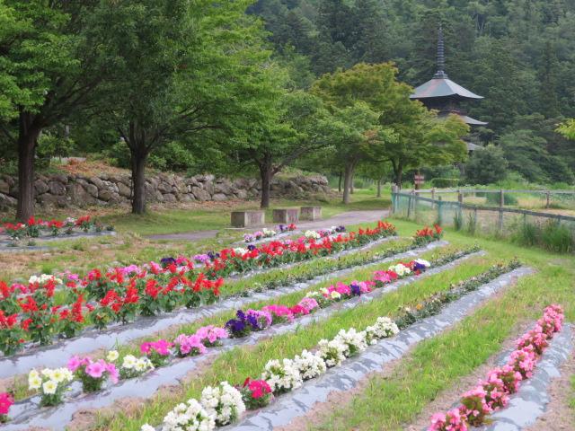 「万葉の花園」満開です♪:画像