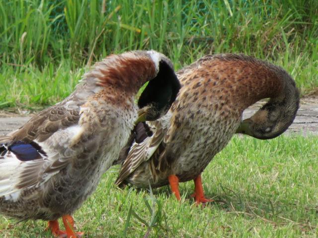 正同步的野鸭?:图片