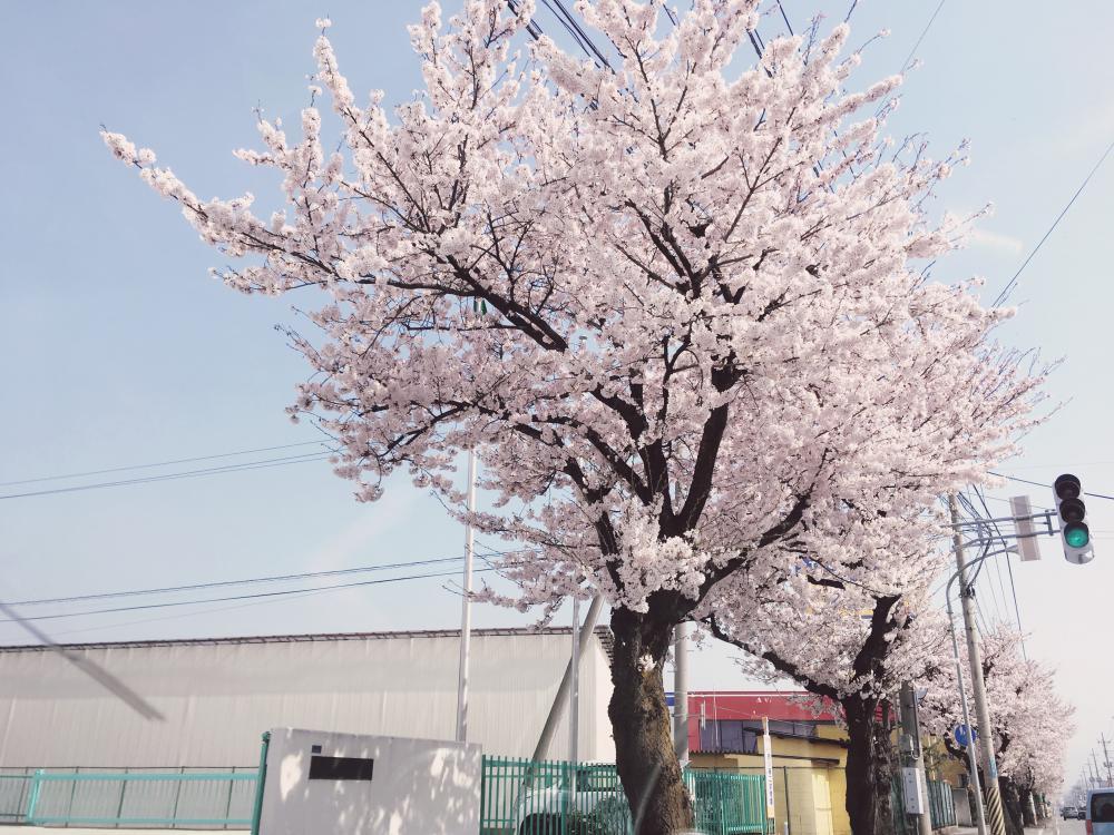 サクラの開花|天童グランドホテル舞鶴荘:画像