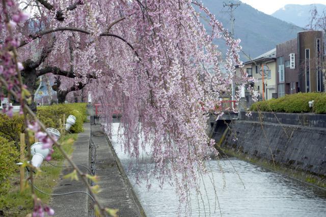 倉津川枝垂桜|天童市役所前