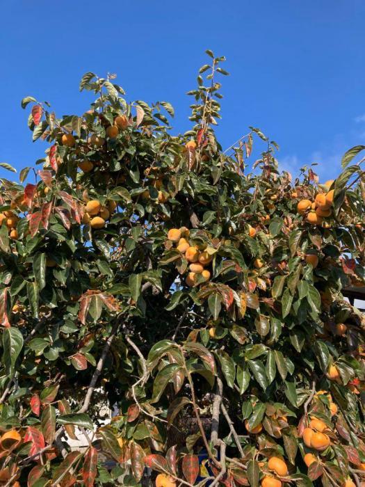 この秋の初「柿もぎ」♪