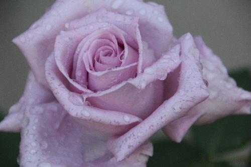 雨上がりのバラたち/