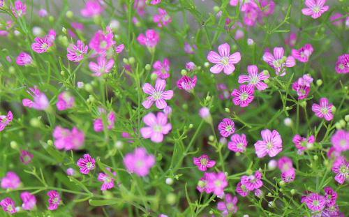 とっても小さなかわいい花 カスミソウ