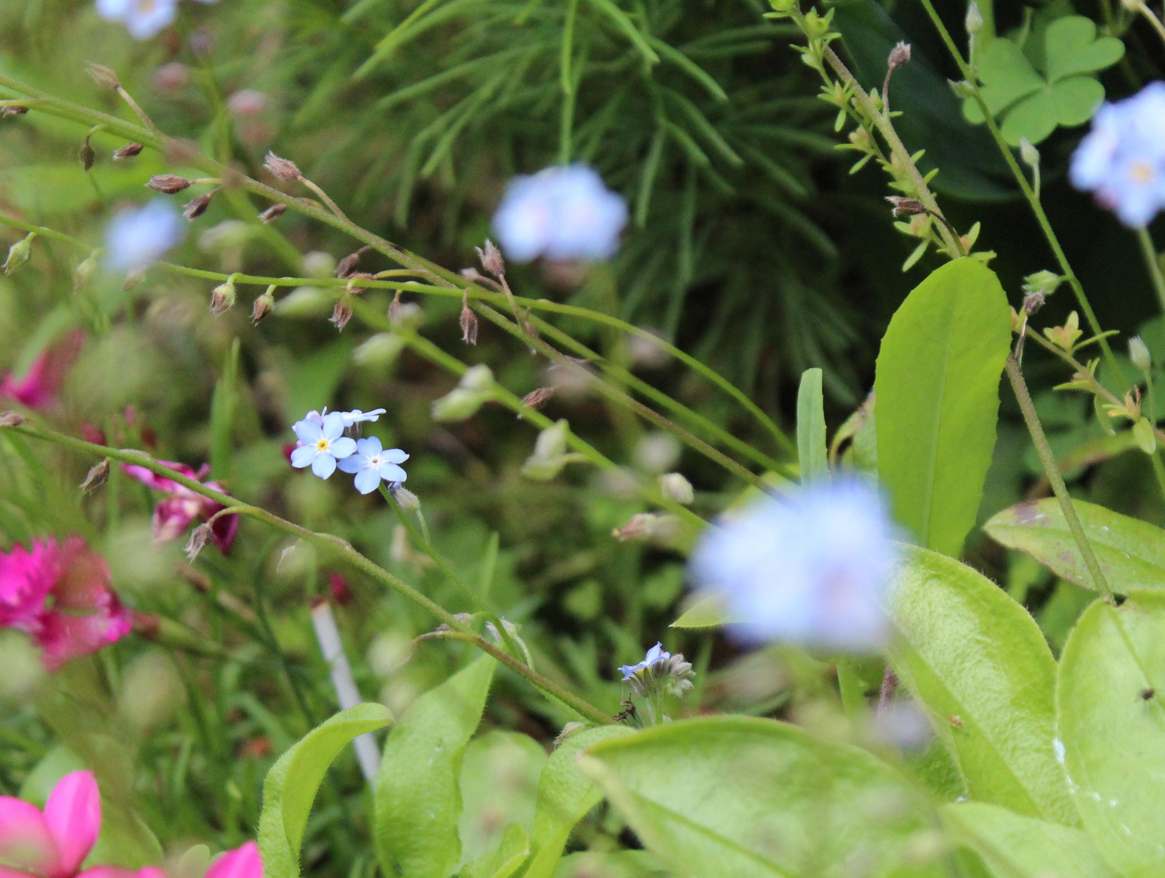 ワスレナグサが忘れられたように小さな青い花を咲かせています