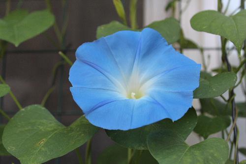 今年第1号の西洋アサガオが開花 夏を迎えるさわやかなブルー/