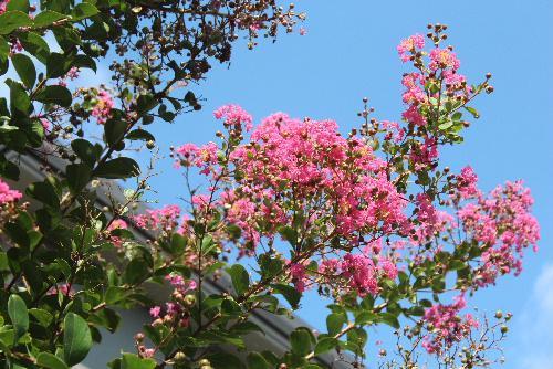 夏の終わり 猿も滑り落ちる木肌をもつサルスベリのピンクの花も終わりです/