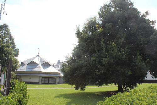 夕づるの里にミズナラ(?)と似ている大きな木にびっしりと実
