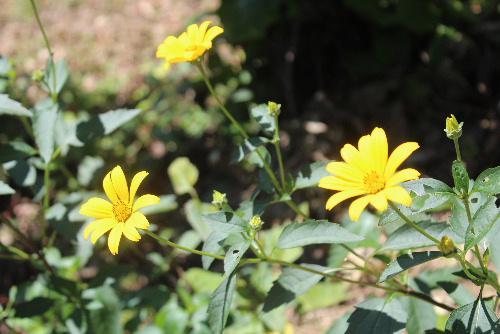 烏帽子山八幡宮前の土手に黄色い花 いよいよ今日、明日と赤湯温泉ふるさとまつり