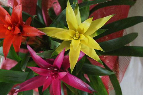とてもステキな花をいただきました 何という花でしょうか? わかりました「グズマニア」です