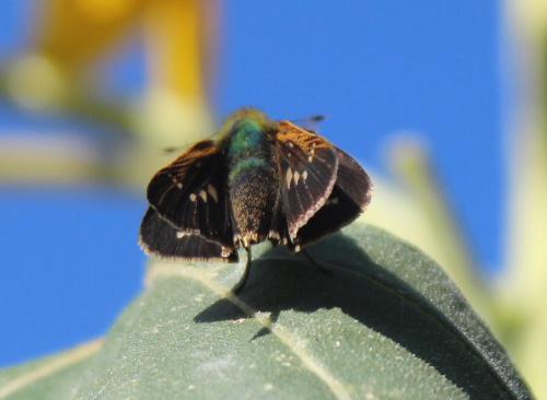 夏の終わり 小さな蝶がヒマワリの葉にちょこんととまっています