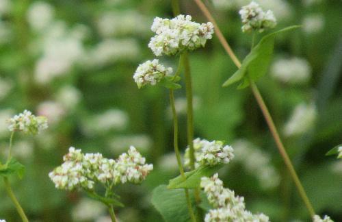 一面のソバ畑に真っ白な花 まもなく新そばがでますね~