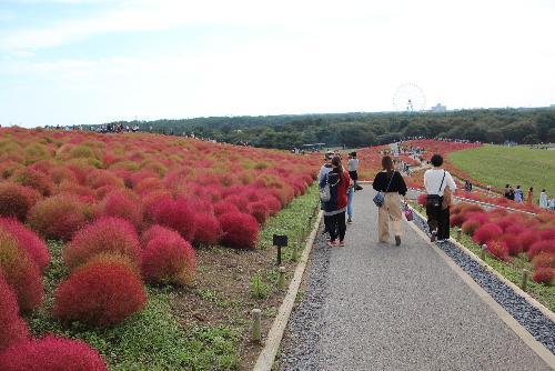 我が家のコキアに魅せられて 茨城県のひたち海浜公園にコキアの撮影に 感動コキアの紅葉