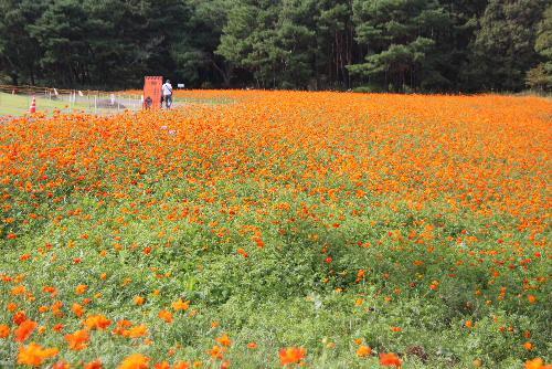 秋真っ盛り 鮮やかなオレンジ色のキバナコスモス(ディアボロ)が一面に咲き乱れる