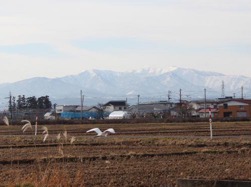田んぼには全く雪がない 白い山を背景に新幹線が走る サギが飛ぶ 今日は令和2年1月12日/