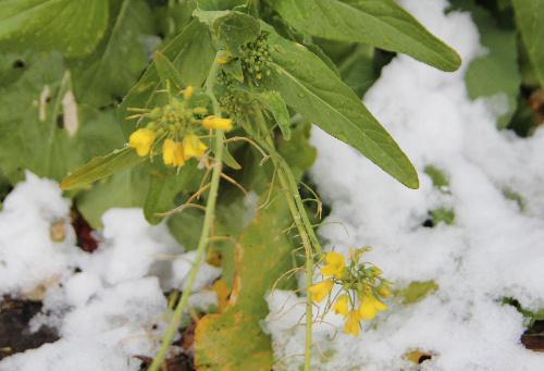雪の中で菜の花が咲いています 真冬なのに