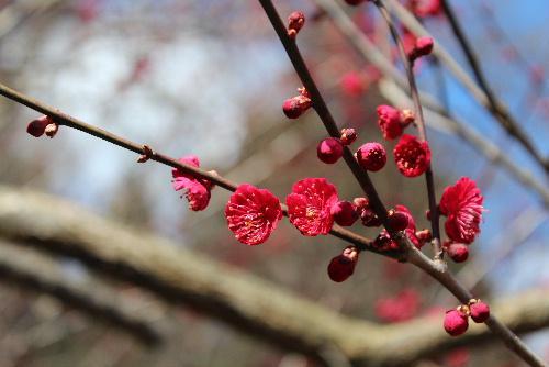 烏帽子山八幡宮参集殿前に鮮やかに紅い寒梅が咲いています /