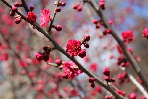 烏帽子山八幡宮参集殿前に鮮やかに紅い寒梅が咲いています