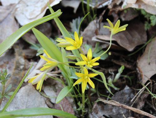 土手に咲いてた黄色のかわいいこの花なあに?  調べてみましたユリ科の「キバナノアマナ(黄花の甘菜)」かな/
