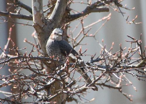 我が家の庭の花(レンギョウ)ドロボー この鳥はなんという鳥かな?